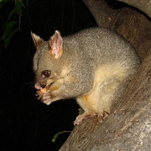 Brush-tailed Possum Word Search
