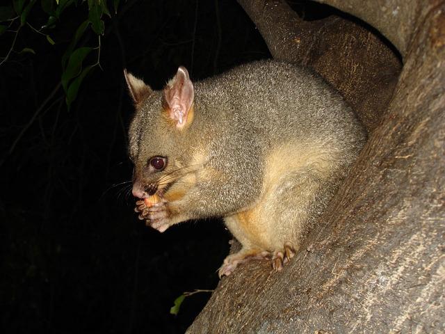 Brush-tailed Possum Word Search