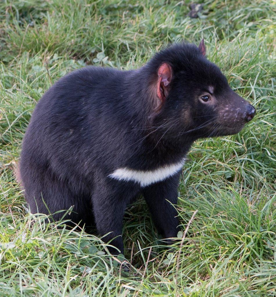 Tasmanian devil word search