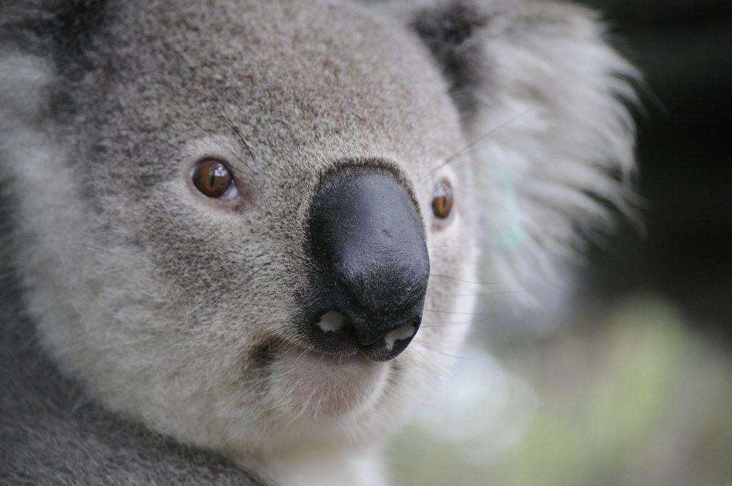 Koala Word Search!
