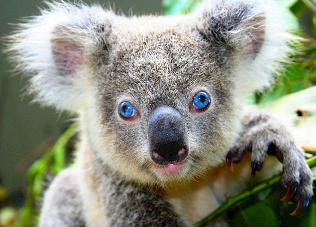 koala report