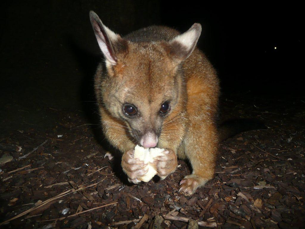 Brush-tailed possum report text