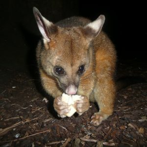 Brush-tailed possum report text