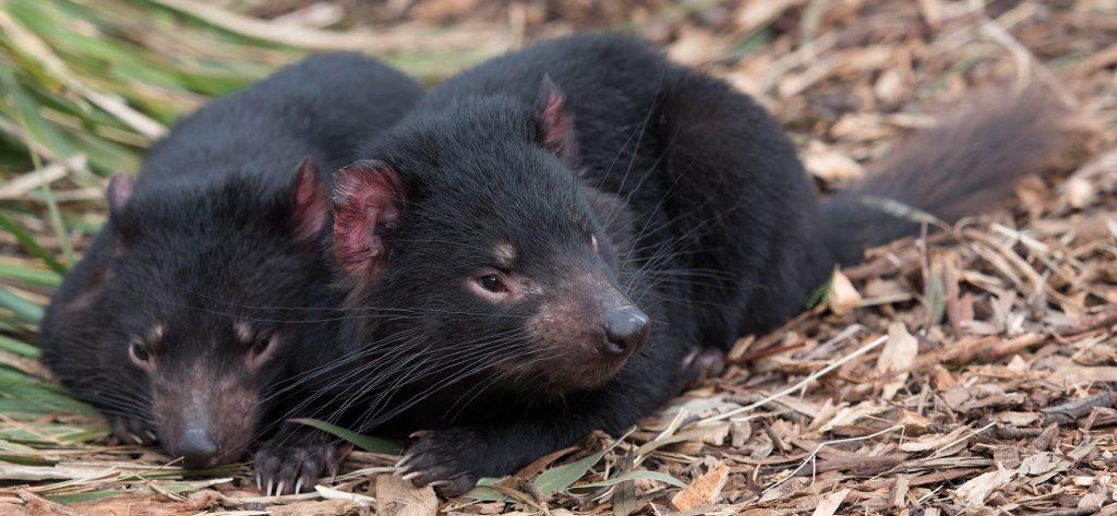 Tasmanian devil report