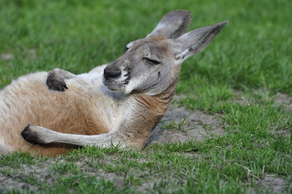 kangaroo bundle