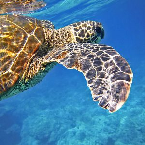 Green Turtle Non-Chronological Report Text